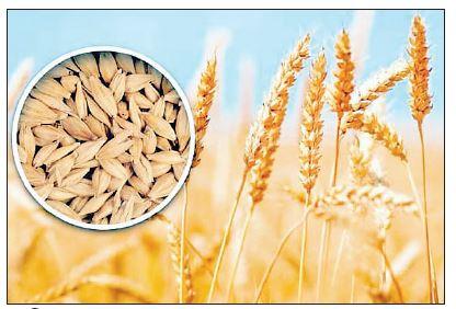 जौ की खेती: सीमित लागत अधिक मुनाफा